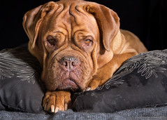 Diamond Girl (Martin Werge Nissen) Tags: 600exrt doguedebordeaux animal dog flash hairlight one two