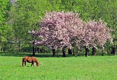 spring: pink blossoms with horse (frank28883) Tags: cavallo primavera fioritura blossoms prato