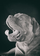 Tuesday boring (Martin Werge Nissen) Tags: 57 600exrt doguedebordeaux maximus dog flash one scrim