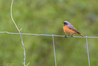 Redstart on a wire