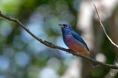 Colorín Azul Rosa - Passerina rositae (Jorge De Silva R) Tags: passerina rositae colorin azul rosa avesdechiapas aves birds reserva de la biosfera sepultura chiapasmexico jorgesilva