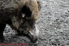 Wildschweine (shaolino) Tags: wildschwein wildboar sus scrofa säugetier tier animal sau borsten schlamm spandauerforst spandau berlin deutschland germany d3200 nikon