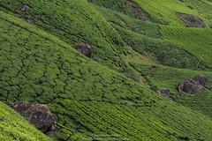 Munnar Tea Plantations I200 40mm f13 s80 0EV Manual Exposure Spot Metering (mahesh.kondwilkar) Tags: incredibleindia india kerala keralatourism munnar teaplantations