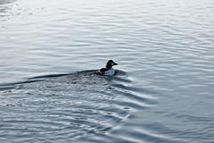 Telkkä / Goldeneye (Tuomo Lindfors) Tags: iisalmi suomi finland paloisvirta virta stream vesi water dxo filmpack telkkä goldeneye lintu bird myiisalmi tamronsp70200f28divcusd
