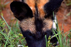 Wet Wild Dog Head shot (Jasper Maberly Photography) Tags: african wild dog painted lycaon pictus africa laikipia wilderness close up