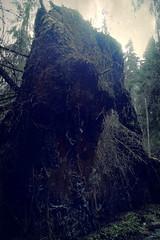Hämäräiset alaiset (Lauri S Laurén) Tags: roots finland fir fallen woods spring forest metsä dark dusk taiga afterprocessing afterprocessed art laurilaurén photoart nature naturephoto urjala pirkanmaa