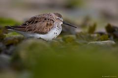 LA SIESTA (Carlos Cifuentes) Tags: correlimoscomún pilrocomún calidrisalpina dunlin carloscifuentes bird wildlife nature
