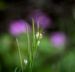 Back Drop. (Omygodtom) Tags: flower flickr weed bokeh macro macromonday pink green outdoors wildflower tamron tamron90mm texture nature natural nikon autumn spring april d7100 dof detail
