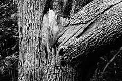 A Trunk Once Torn (JamieHaugh) Tags: clevedon northsomerset england sony a6000 outdoors blackandwhite blackwhite bw monochrome tree trunk torn split nature