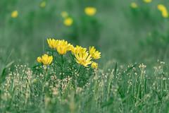 Adonisröschen/Spring Adonis (dlorenz69) Tags: odra oder river spring adonis adonisröschen blumen frühling wiese meadows fields blooming blossom yelllow pheasant eye gelb germany wild lebus