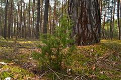 Small Juniperus communis (МирославСтаменов) Tags: russia moscowregion juniperus tree coniferous sapling pine trunk forest moss dunes spring