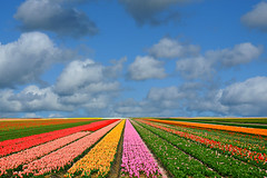 untitled (on the road to leiden - netherlands) (bloodybee) Tags: 365project leiden netherlands europe tulip field flower stripes colors sky clouds landscape