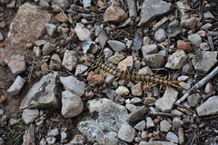 Scolopendra cingulata (esta_ahi) Tags: ordal fauna penedés barcelona spain españa испания scolopendra cingulata scolopendracingulata escolopendra scolopendridae myriapoda