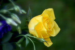 Yellow Rose (Manoo Mistry) Tags: rose nikond5500body nikon nature tamron18270mmzoom tamron18270mmzoomlens outdoor flowers fragrance scent colours garden parks