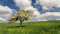 Apple tree (Sebo23) Tags: apfelbaum appeltree baum tree frühling spring blühten wolken clouds landscape landschaft nature naturaufnahme polariser canon6d canon24704l