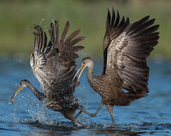 Food Fight (PeterBrannon) Tags: aramusguarauna bird florida habitat limpkin nature wildlife applesnail fight