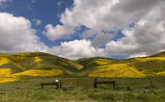 Breathless, we flung us on a windy hill, Laughed in the sun, and kissed the lovely grass… (ferpectshotz) Tags: carrizoplain nationalmonument temblorrange sanandreasfault california southerncalifornia flowers yellow superbloom spring rain