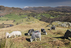 view from near tiberthaitye with sheep (ken 898) Tags: tiberthwaite lake district scenic landsape sheep