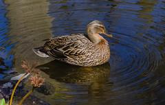 Mallard (frankmh) Tags: animal bird seabird mallard krapperupcastlepark höganäs sweden outdoor
