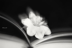 An open book (traptiantiwary) Tags: book pages text blackandwhite flower macromondays canon canoneos stilllife internationalblur