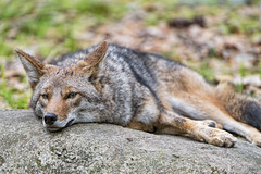Exhausted coyote (Tambako the Jaguar) Tags: lying tired exhausted stone rock portrait funny canid canine coyote dog jacksonvillezoo jacksonville zoo florida unitedstates america usa nikon d5