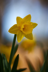 In Soft Shade (matt.kueh) Tags: flower plant spring frühling blume narzisse daffodil bokeh bokehlicious vintagelens manualfocus m42 depthoffield helios40285mmf15