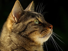birds !!!! (EOS1DsIII) Tags: eos1dsiii deutschland germany frankfurt fauna tier katze cat fell micky vibrissen schnurrhaare whiskers