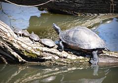Sunbathing Turtules II (Alexander Day) Tags: sunbathing turtle turtles reptile reptiles pond animal animals logs duke farms new jersey alex day alexander