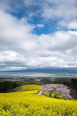 Yellow Hill (Tomohiro Urakawa) Tags: canolaflower cherryblossoms shirakimine nagasaki 長崎 白木峰 桜 菜の花