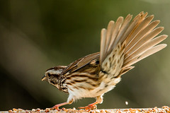 Shake a Tail Feather (langdon10) Tags: bird canada canon70d novascotia sparrow outdoors