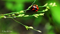 Pole Walking Lady (Raj the Tora) Tags: ladybird ladybug theosophicalsociety theosophical society nature wild wildlife insects insect