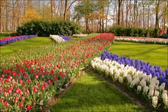 Keukenhof (TeunisHaveman) Tags: tulip tulp hyacinth keukenhof holland garden tuin park