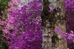 紫つつじ (osaru4hie5) Tags: japan tokyo flower pentax pentaxart 花 紫つつじ pentaxkr 青梅 ピンク