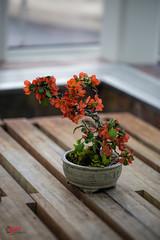 Azalea Bonsai (SPP - Photography) Tags: 6d azalea azaleabonsai blooming blooms blossom blossoms bonsai canon canon6d eos6d flower flowers flowersplants marjoriemcneelyconservatory minnesota nature saintpaul saintpaulmn sigma sigma20mm114dgart sigmaart sigmalenses twincities
