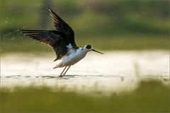 DSC_5999a (Viktor Honti) Tags: nikon d7100 tamron 150600 wildlife nature bird hungary himantopus water