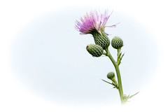 Almost like....a forbidden delight (Priority Mode) Tags: thistle flower minimalist white nature