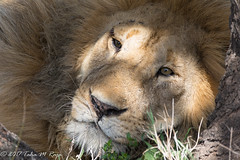 Stare me down Lion (taharaja) Tags: arusha buffalo caldera crater nationalpark ngorongoro africa animals big5 cape conservationarea eastafrica elephants gazelle keratu kilimanjaro lakemanyara leopard lions ndutu rhino safari serengeti seronera tanzania unesco wildebeast zebra