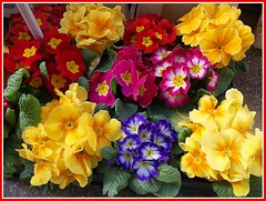 Colourful Primula's. (** Janets Photos **) Tags: uk flowers plants colours hull primula railwaystations ilikeit herecomesthesun peacetoall welikeit masterphotos artisticflowers takenwithlove beautifulasalways filmfree eperke unitedworldphotographers mindigtopponalwaysontop lovelyflickr thegoldenachievement dreamlikephotos takenwithhardwork lovelynewflickr pandaonflickr imperialphotography artofimageasmusic flickrheartgroup goldeachievement opentoalphotographers