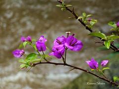 Bougainville (Re Silveira) Tags: brazil naturaleza flower primavera nature fleur brasil natureza flor bougainvillea riograndedosul bougainville flordepapel trêsmaria