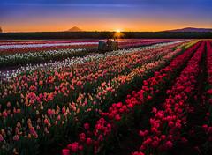 Sunburst over tulips (GeorgeOfTheGorge) Tags: red panorama tractor yellow oregon sunrise unitedstates tulips fav50 fav20 mthood flare april sunburst fav30 sunflare woodburn verticalstitch woodenshoetulipfarm orangeglow fav10 fav100 fav40 fav60 fav90 fav80 fav70 nikkor85mmpce 3framepano