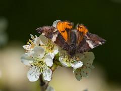 Orange Underwing