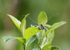 150 Green Longhorn Moth - Adela reaumurella (jeannie debs) Tags: uk small moth may 150 staffordshire 2014 longantennae greenlonghornmothadelareaumurella