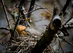 Turdus migratorius Nests Above Our Driveway (Jim Frazier) Tags: trees plants house home nature robin birds animals gardens fauna forest mom illinois spring woods natural nest wildlife branches mother may sunny f10 il parent worried worry safe batavia kanecounty kane ourhouse americanrobin alert ourhome nesting frazier turdus migratorius 2014 q2 jimfraziercom wmembed