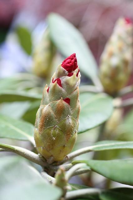 Rhododendron, forår, Nørager