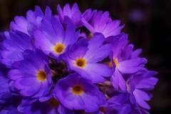 Primula - Denticulata (Paul Sibley) Tags: flower purple photoaday primula nikond60 3652014