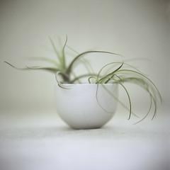 1 (sue.h) Tags: stilllife 6x6 mediumformat bowl 120film hasselblad hasselblad500cm airplants portra160 artlibre artlibres extremefilterstacking