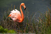 Phoenicopterus ruber - Flamant des caraibes - American Flamingo - Greater Flamingo - 2014 Galapagos 11.jpg