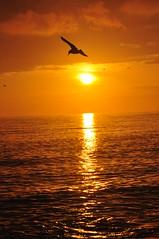 Sunset (chrischeverst) Tags: uk sunset sea england sky orange sun reflection beach nature water nikon brighton hove tranquil seagul silhoute d90 ilobsterit