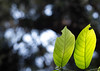Unedited . (32/365) (Harshika Tantia) Tags: colour green nature leaves canon garden photography 50mm prime photo photos bokeh creative photographs veins backlighting unedited notedited project365 ilovebokeh canon60d