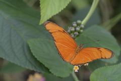 Julia Butterfly - Blijdorp Zoo, Rotterdam